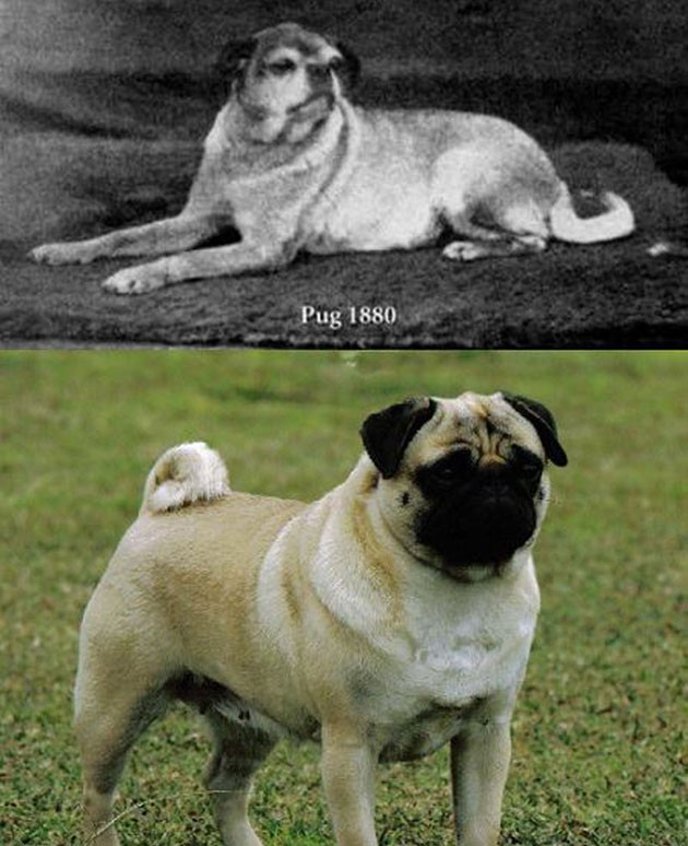 What-pugs-looked-like-before-selective-breeding
